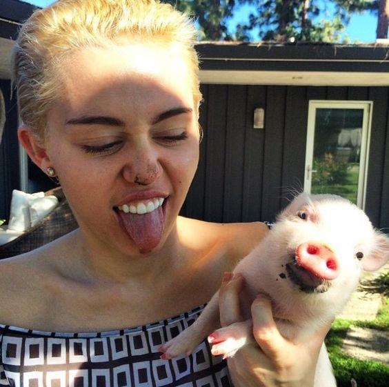 miley cyrus lợn